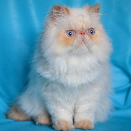 12 Teo Persian  male kitten