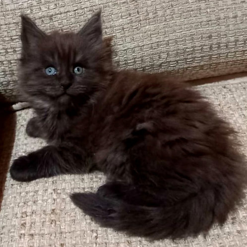 49 Fedel  Maine Coon male kitten