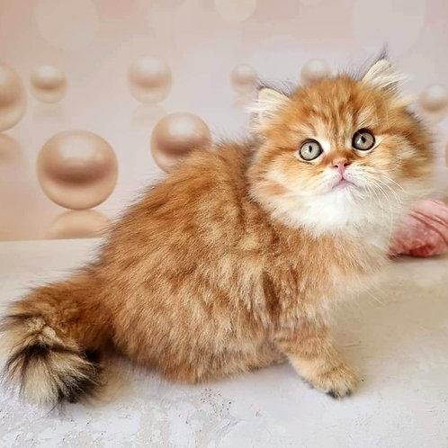 466 Oktavian  British longhair male kitten