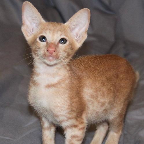 309 Umnyk   Oriental male kitten