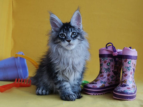 Concord poly  Maine Coon male kitten