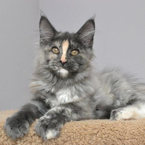 803 Agusha  Maine Coon female kitten