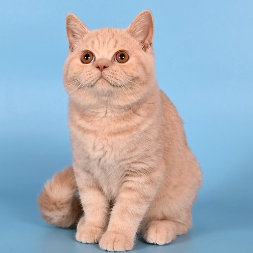 1049 Ruffles  British shorthair male kitten