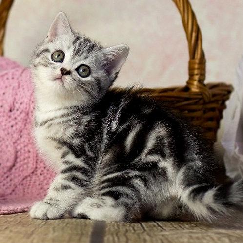 948 Grant   British shorthair male kitten