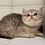 Thumbnail: 552 Humlet  British shorthair male kitten