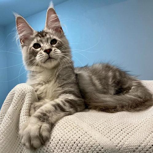807 Navarro  Maine Coon male kitten