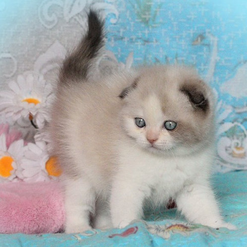Sindi Scottish fold shorthair female kitten