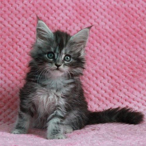 499 Kiwi Maine Coon female kitten