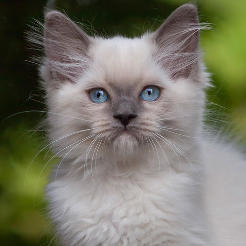 251 Bagira   Ragdoll female kitten