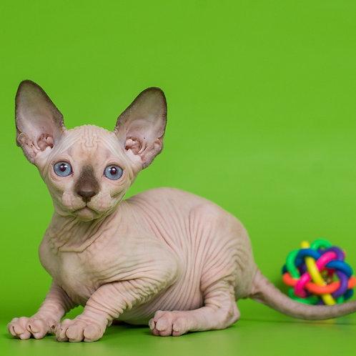 Legolaz male Sphinx kitten