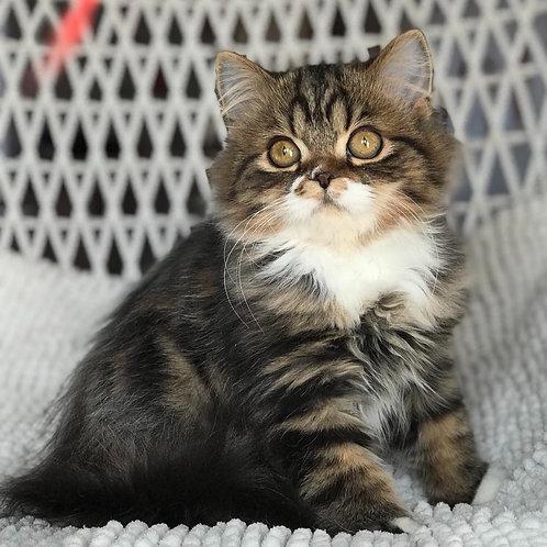 617 Miledy      Scottish straight longhair female kitten