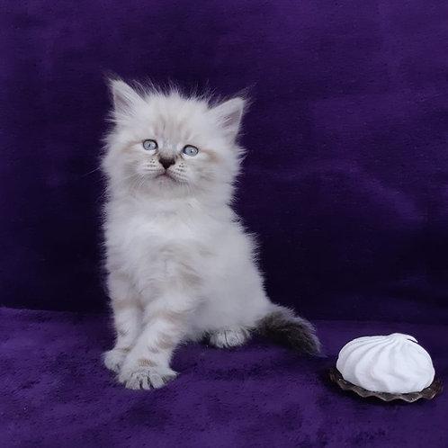 481 Agatha Siberian female kitten