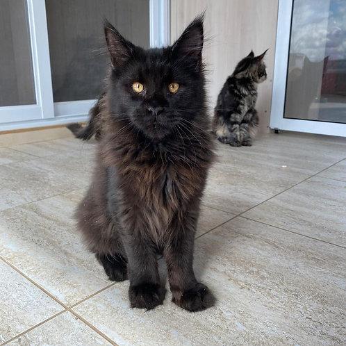 Finik Maine Coon male kitten