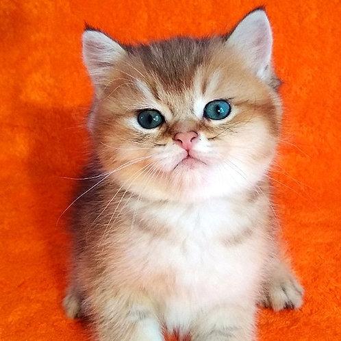 664 Toffie  British shorthair male kitten