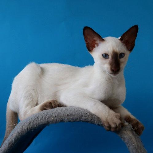 343 K*Lamarge Siamo Oriental male kitten