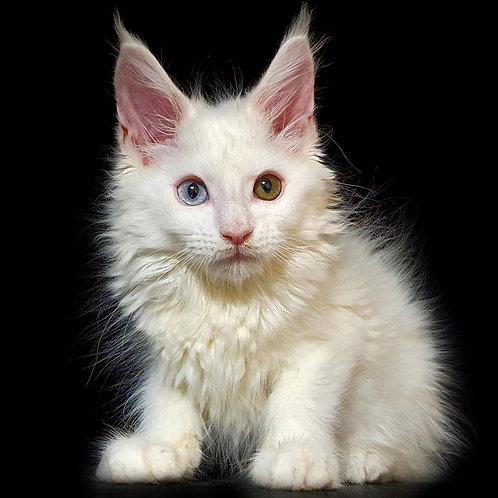 775 Faro  Maine Coon male kitten