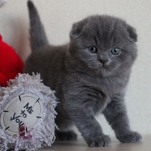 531 Diego Scottish fold shorthair male kitten