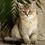 Thumbnail: 980 Alisa  Scottish straight shorthair female kitten