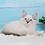 Thumbnail: 269 Marshall      Siberian male kitten