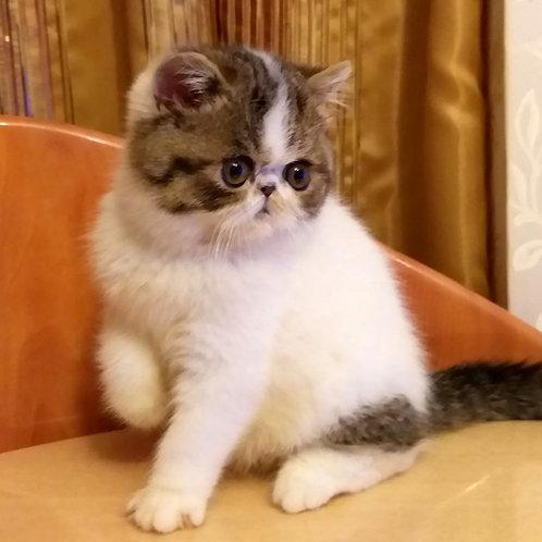 36 Oskar   Exotic shorthair male kitten