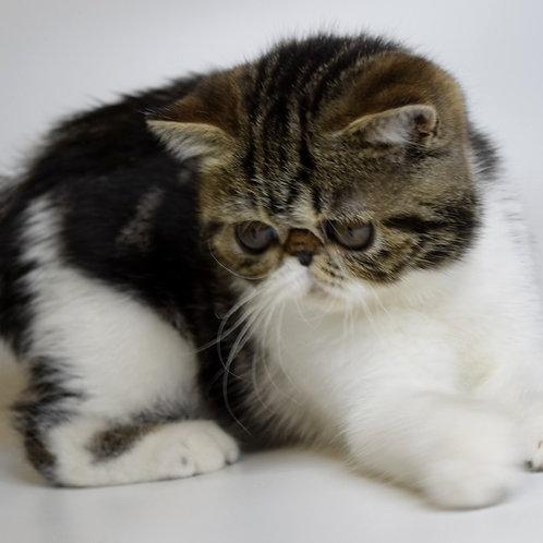 191 Frenk  Exotic  male kitten