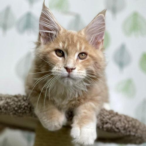 156 Tiff  Maine Coon male kitten