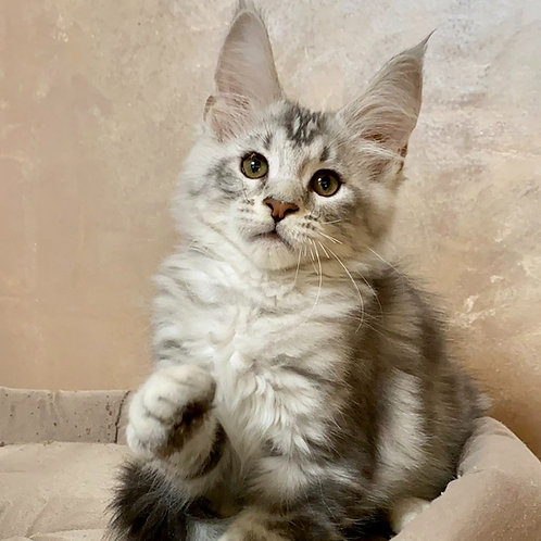 569 Layrvil Maine Coon male kitten