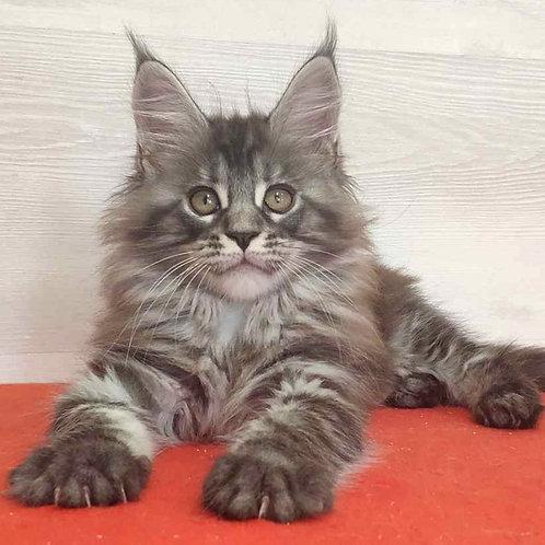 560 Michelle  Maine Coon female kitten