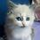 Thumbnail: 46 Tiny  Siberian male kitten