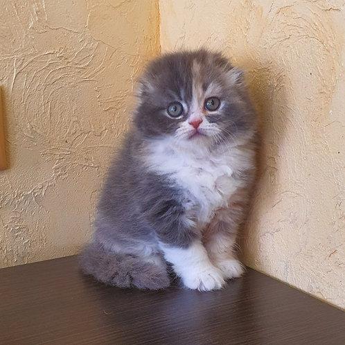 Linda Scottish fold longhair female kitten