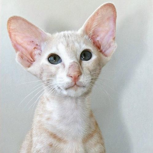498 Liam   Oriental male kitten