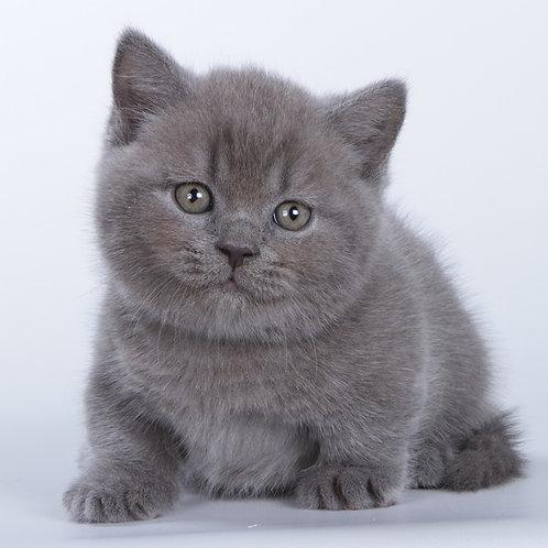 939 Xlo      Munchkin shorthair male kitten