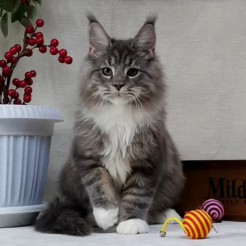 349 Iceberg     Maine Coon male kitten