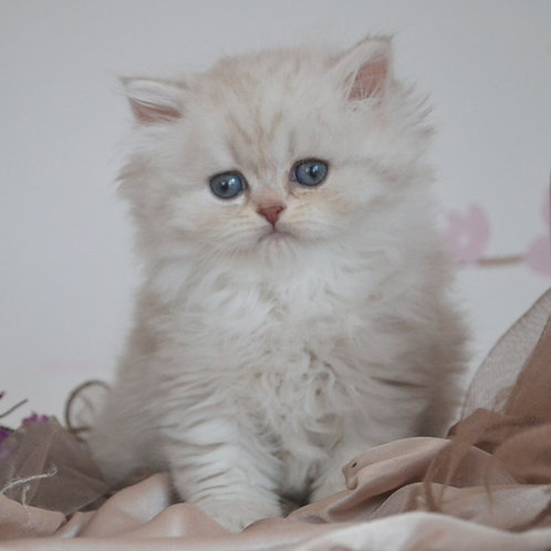 435 Molly  British longhair female kitten