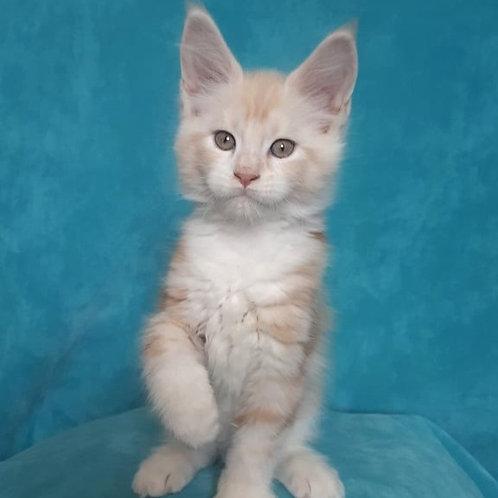 473 Impulse  Maine Coon male kitten