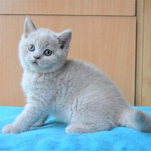 385 Honey  British shorthair female kitten