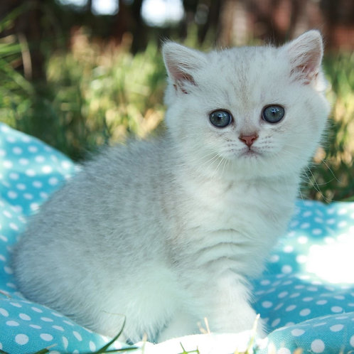 Yuki British shorthair male kitten