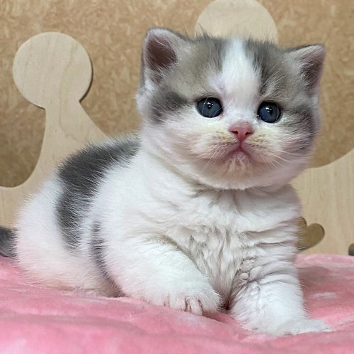 68 Yunona   Scottish straight shorthair female kitten