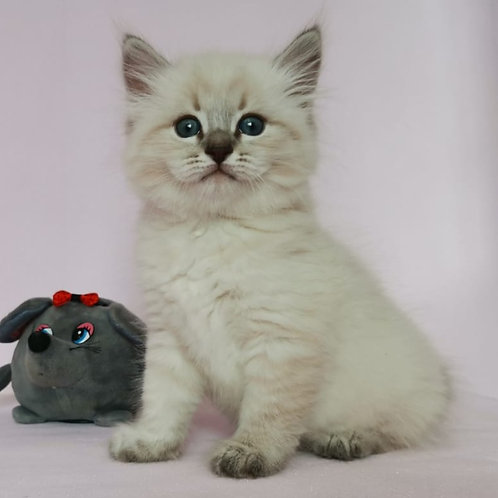 128 Jiordano Bruno     Siberian male kitten
