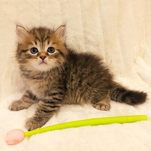 Ocean Siberian male kitten