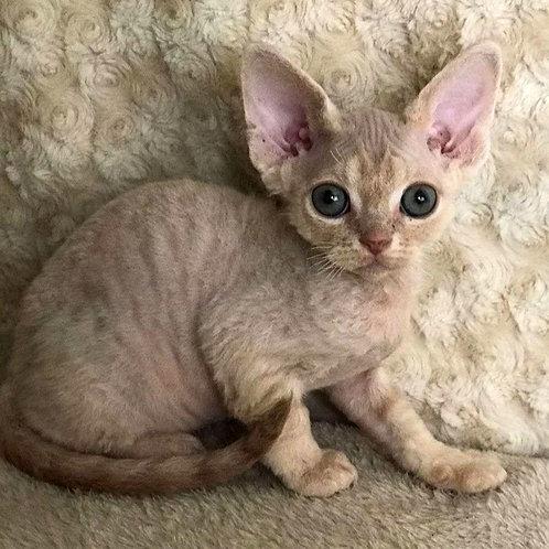 577 Kiprei   male kitten Devon Rex