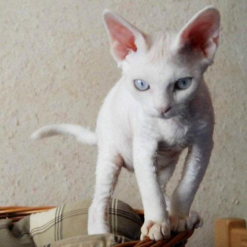 557 Lenny  female kitten Devon Rex