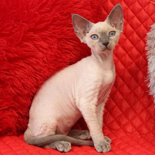 515 Avori  female kitten Devon Rex