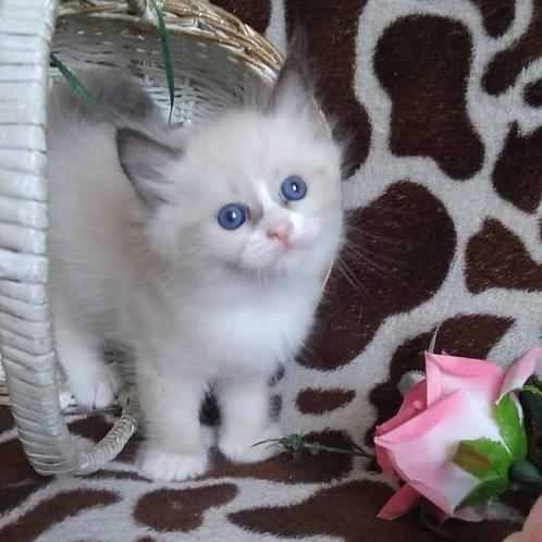 Valentina Siberian female kitten