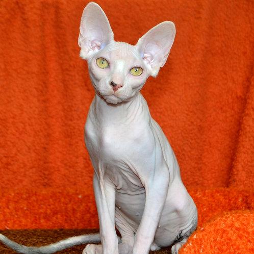 180 Milky way  male Sphynx kitten