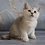 Thumbnail: 721 Wik  British shorthair male kitten