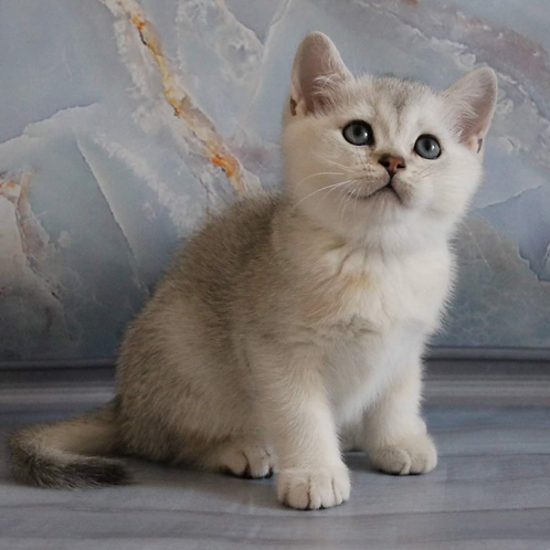 721 Wik  British shorthair male kitten