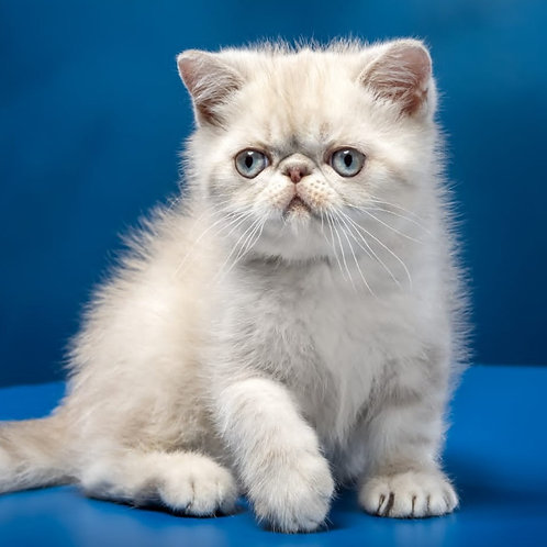 202 Cheesecake    Exotic  male kitten
