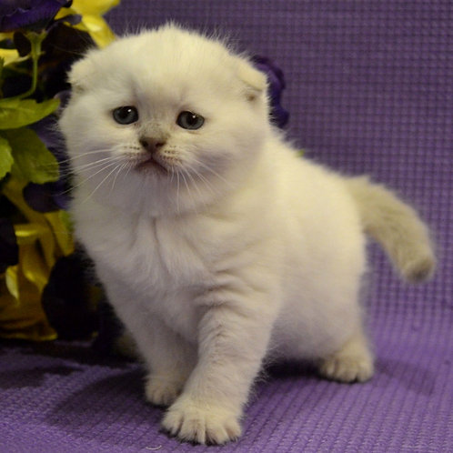 58 Insignia  Scottish fold shorthair female kitten