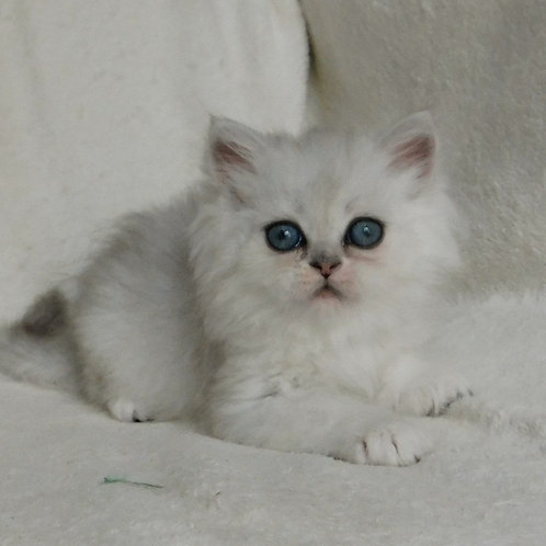 740 QQ   Scottish straight longhair male kitten